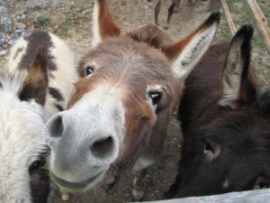 mini donkeys in nC