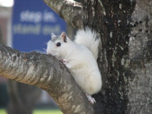 best-shot-white-squirrel-brevard-on-limb
